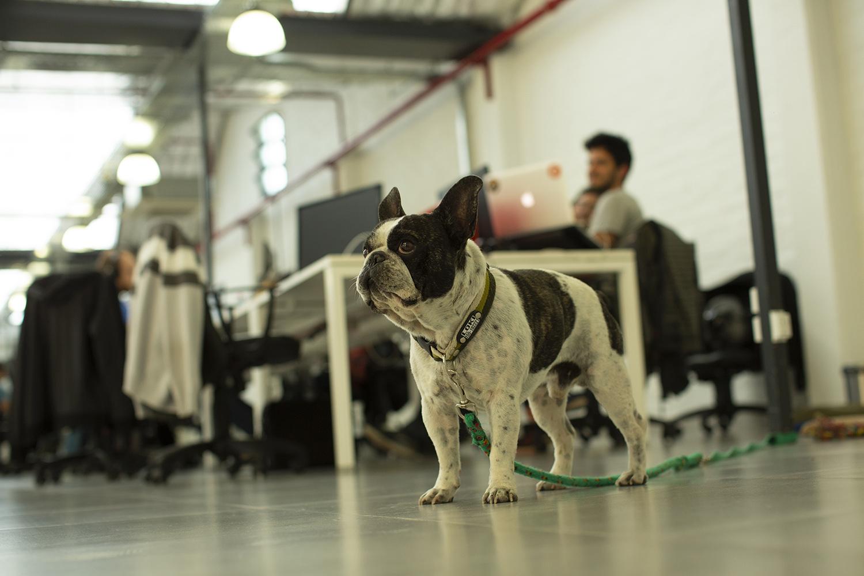 People, Person, Animal, Bulldog, Canine, Dog, Mammal, Pet, Pointer