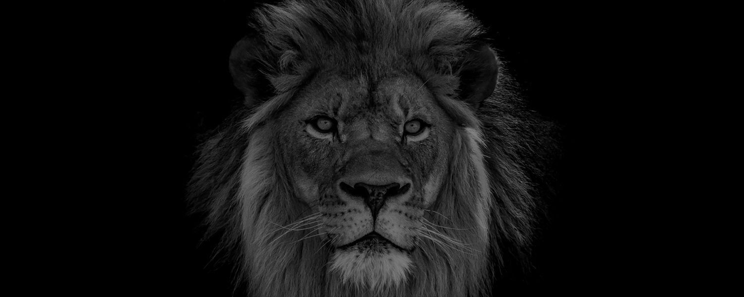 Animal, Lion, Wildlife, Mammal